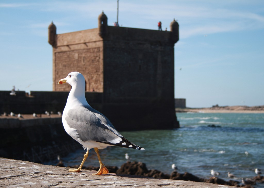 Bird at fortress in Essaouira | The Spot Morocco,Taghazout, surf Morocco, where to surf in Morocco, surf camp Morocco, surfing Morocco, Morocco surf